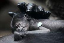 Gorillas / by Terri Richards