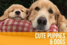 Cute Puppies & Dogs / Puppies smiling, dogs in dresses, and man's best friend just being all-around-adorable. So much cuteness we can barely breathe! / by American Kennel Club