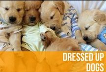 Dressed Up Dogs / From dapper to downright adorable, these dressed-up-pups have got it going on. / by American Kennel Club