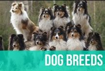 Dog Breeds / Here you can learn more about each dog breed. Find your breed favorites below and follow the pin to the official breed page from the American Kennel Club.  / by American Kennel Club