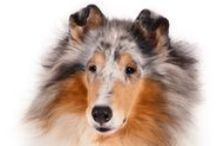 Rough Collie / These elegant dogs are legendary for their herding and protecting abilities. They are strong, loyal, affectionate, responsive and fast. The rough-coated Collie has a beautiful long coat. The coats of both varieties—rough and smooth—used to be mostly black, but now can be sable and white, tri-color, blue merle and white. The breed has an elegant wedge-shaped head. Collies can do well in the country or the city, but need companionship.