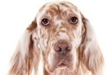 """English Setter / English Setters are elegant but substantial gundogs known for their beauty and agreeable temperament. The word """"belton,"""" unique to this breed, describes the speckled patterns of the coat, which comes in colors that sound good enough to eat: liver, lemon, and orange among them. Beneath the showy coat is a well-balanced hunter standing about 25 inches at the shoulder. The graceful neck carries a long, oval-shaped head proudly, and the dark brown eyes convey a soft expression."""