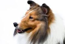 Shetland Sheepdog / The Sheltland Sheepdog is an extremely intelligent and playful herding dog who loves playing with children and learning new tricks. Shelties are easy to train and are world-class competitors in obedience, agility, and herding trials. They're loyal and affectionate with their family but can be reserved toward strangers. (Bonus: This trait makes them excellent watchdogs—like an alarm system that likes to cuddle.) / by American Kennel Club