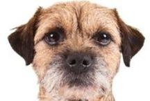 """Border Terrier / Border Terriers stand from 11 to 16 inches at the shoulder and weigh from 11.5 to 15.5 pounds. The short, wiry coat can be grizzle and tan, blue and tan, wheaten, or red. They're easy to recognize among other terriers by their unique head shape: """"otter head,"""" as Border Terrier fans say. Another distinguishing trait is that they're longer in leg than other terriers of their weight. The breed's admirers cherish the Border Terrier's reputation as a tough, no-nonsense working terrier. / by American Kennel Club"""