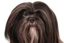 Lhasa Apso / The Lhasa Apso is a small, hardy breed with a beautiful cloak of hair that parts down the back from head to tail. Their temperament is unique: joyful and mischievous, dignified and aloof. An independent breed, the Lhasa's goal in life is not necessarily to please their master. Popular in the show ring, the breed also excels at activities that provide constant challenges, such as agility.
