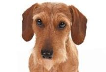 """Dachshund / The Dachshund, meaning """"badger dog"""" in German, is a lively breed with a friendly personality and keen sense of smell. Known for their long and low bodies, they are eager hunters that excel in both above- and below-ground work. One of the most popular breeds according to AKC® Registration Statistics, they come in three different coat varieties (Smooth, Wirehaired or Longhaired) and can be miniature or standard size."""