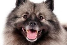 """Keeshond / A medium-sized, sturdy dog, the Keeshond possesses the characteristics of other Northern breeds - a fox-like expression, stand-off coat and richly plumed tail carried over the back. His coloring is a mixture of gray, black and cream, with variations from light to dark and distinctive """"spectacles"""" - markings and shadings in the eye area, including a delicate, dark line slanting from eye to ear and expressive eyebrows."""