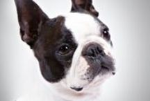 """Boston Terrier / Boston Terriers are compact, short-tailed, well-balanced little dogs weighing no more than 25 pounds. The breed is famous for its """"tuxedo"""" coat: white and either black, brindle (a dark striped pattern), or seal (appears black except it has a red cast when viewed in sun or bright light). The muzzle is short and the eyes are large, dark, and round, giving Boston Terriers a kind and intelligent expression that can melt the coldest heart."""