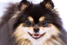Pomeranian / The Pomeranian is a cocky, animated companion with an extroverted personality. This compact little dog is an active toy breed with an alert character and fox-like expression. Today, the Pomeranian is a popular companion dog and competitive show dog. They can come in all colors, patterns, and variations although orange and red are the most popular.