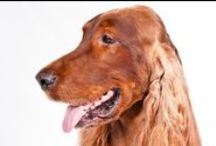 Irish Setter / First, there's that gorgeous red coat. You won't have to worry about losing track of your pet at the dog park—the flashy Irish Setter stands out in any crowd. Underneath the coat is a true athlete, over two feet tall at the shoulder and weighing 60 to 70 pounds. The breed was created as a hunter's companion who can do a hard day's work in the field. Irish Setters are famous for their grace and speed.