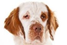 """Clumber Spaniel / Clumber Spaniels are large dogs, but not by height—at 17 to 20 inches Clumbers stand as high as many """"medium"""" dogs. Rather, Clumbers are large by weight: A small female might be 55 pounds, and a big male could go 85 pounds. Clumbers are powerful bird dogs of heavy bone, built long and low, with a massive head. They're primarily white, with sparse lemon or orange markings. Built to plow through thick cover in the field, Clumber movement is nonetheless free and easy."""
