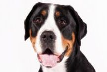 """Greater Swiss Mountain Dog / Standing as high as 28.5 inches and weighing as much as a midsize human, Swissies are immensely strong, yet agile enough to move a flock across the sloping foot of a mountain. The coat is a striking tricolor—black, red, and white. The head and muzzle typically have a white marking (the """"blaze""""), setting off a sweet expression. Several big mountain-dog breeds are described as """"majestic,"""" but Swissies practically invented the word."""