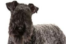 Kerry Blue Terrier / Intelligent and game, the Kerry Blue Terrier is truly an all-purpose dog. Originally bred to hunt and retrieve, Kerries can be found today in the show, obedience, agility, herding and earthdog rings. The Kerry's trademark soft, wavy coat can range from deep slate gray blue to light blue gray. Kerry Blues are born black and, if correct, possess the dominant gene for coat fading. They will fade and acquire their adult color by 18 months.