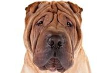 """Chinese Shar-Pei / Just a quick look at this compact, powerful dog raises the question, How many odd physical characteristics can one breed have? Consider the Shar-Pei, from head to tail: the broad """"hippopotamus"""" muzzle; the blue-black tongue; the small, sunken eyes with their scowling expression; the tiny triangular ears; the abundant folds of loose skin about the head, neck, and shoulders; the high-set, tapered tail—all blanketed by a uniquely harsh, sandpapery coat."""