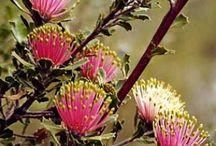 Inspiration sources / Just begun....  a collection of images of two major sources of inspiration: Banksia (unique Western Australian flora) and Art Nouveau.