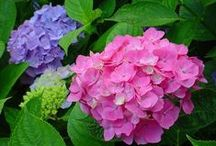 JAPAN-ajisai-紫陽花 / 東京の豊島園の紫陽花祭り