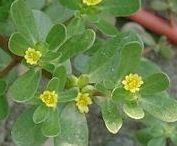 Heil- & Giftpflanzen, Kräuter / Sammlung von Pflanzensteckbriefen, v.a. Kräuter, Heil- & Giftpflanzen, Rezepte