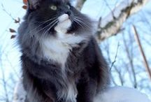 Cattery BukowaDolina*PL ( Norwegian Forest Cats ) / http://bukowadolina.cat/
