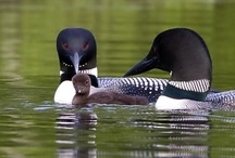 LOONS .... MAINE / by Terry St.Onge