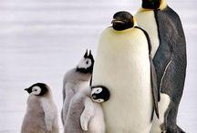 Penguins For SW / Penguins