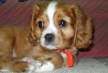Buddy...Cavalier King Charles spaniel. / These are photos of my lovely little boy Buddy.