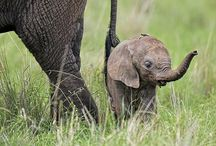 Save the Elephants / Elephants - Help save the elephants.  Our Gifts give back to Elephants in need.  Baby Orphanage.  Enjoy our spectacular pictures of this amazing species.