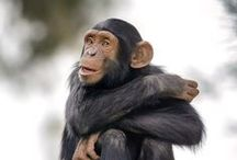 Save the Chimpanzees / Chimpanzees need our help.  justcausegifts.com  are sustainable gifts that give back to Chimpanzees in need.  Enjoy these beautiful photos of Chimpanzees