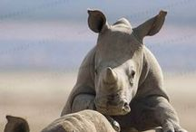 Save the Rhinos / Rhinos need our help - justcausegifts.com are sustainable gifts that give back to rhinos in need.  Enjoy these beautiful rhino photos.