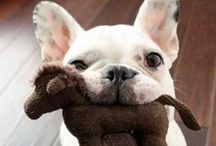 Frenchie in love!