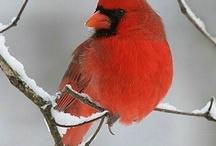 Beautiful Redbirds / by Denise Bailey