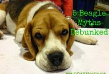 Beagles, Dogs and dog lovers / We love beagles at Life With Beagle.com, and this account features links to our posts, favorite beagle pictures, and other fund doggy things we find on Pinterest.