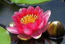 Lotus /  ~ LOTUS ~ stands for Beauty, purity, faithfulness, prosperity, spiritual awakening / by Christina L Steele