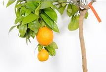 Citrus Trees - Lemons, oranges, kumquats / Beautiful citrus trees from Todd's Botanics