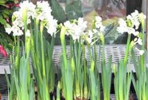 Winter Gardening / When the ground is frozen, the wind is fierce and white has replaced green, an indoor garden of bulbs is one way to anticipate spring.