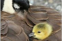Geese for Goose! / It's all about my favorite bird-The Canada Goose.