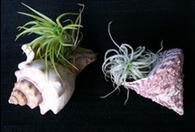 Air Plant...Tillandsia  / by LeAnna Cline