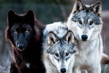 Wolves / Canis Lupus / by Micheal