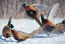 Pheasants and game birds / by Micheal