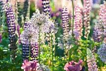Cottage garden / We are working on our front cottage garden. I love a natural, English overgrown look with purple, white and pink...