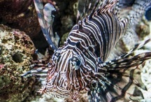 Reference {Lionfish} / Pterois