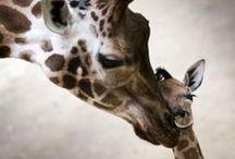 Gorgeous giraffes / by Mirjam Nugteren