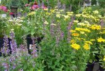 We Love Perennials / Perennials, Native Plants,