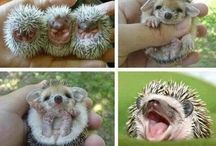 Hedgehog Cuteness / Just because hedgehogs are so cuuuuuute !
