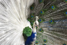 Proud as a Peacock / by Cindy Strickland