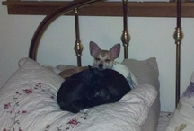 Chihuahuas (mine too) / by Janie Jorgensen-Young