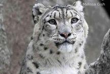 Snow Leopards / Snow Leopards