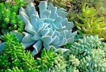 In My Garden - Succulents