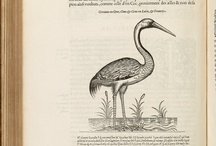 L'Histoire de la Nature des Oyseaux / All of these illustrations are from L'histoire de la nature des oyseaux : auec leurs descriptions; & naïfs portraicts retirez du naturel: escrit en sept liures at the University of Virginia Library. More information on this volume can be found at http://search.lib.virginia.edu/catalog/uva-lib:1002828 All images are sourced from the University of Virginia Library digital repository. All items are housed in the Albert and Shirley Small Special Collections Library, University of Virginia.