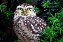 Strigiformes - Owls