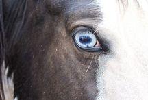 Rumor {Paint Mare} / My black & white Paint mare, Rumor.